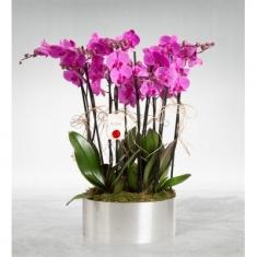 8 Dallı Lila Orkide